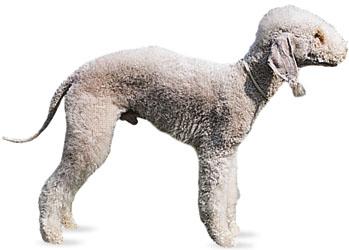 Picture of Bedlington Terrier dog