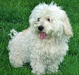 Picture of ichon Frise dog