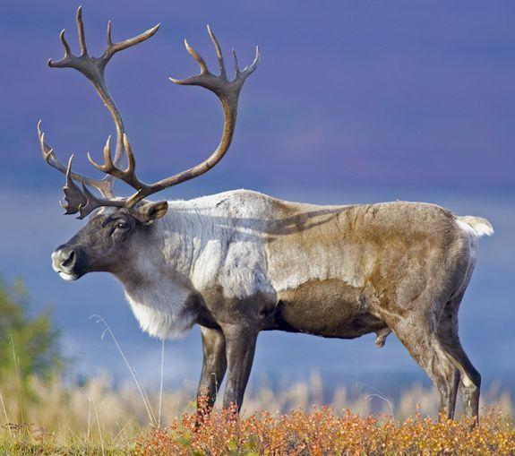 Cariboo picture