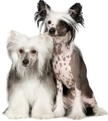 Picture of Chinese Crested dog