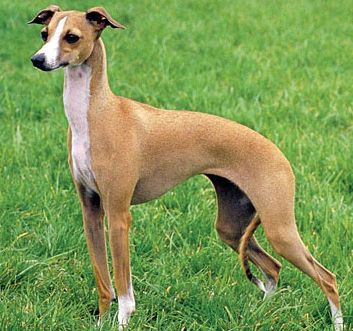 Picture of Italian greyhound dog