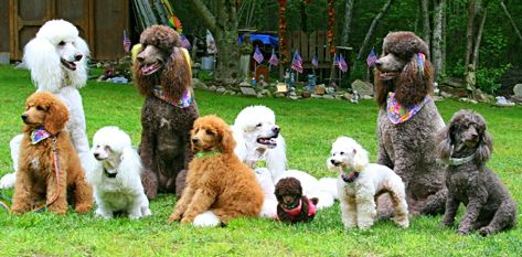 Picture of Poodle dog