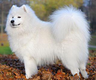 Picture of Samoyed dog