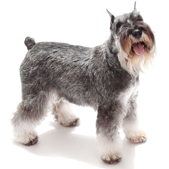 Picture of Schnauzer dog