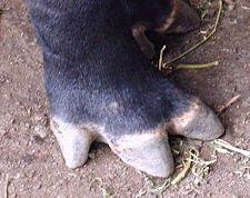 tapir foot