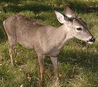 Dewey in December 2003 - world's first cloned deer