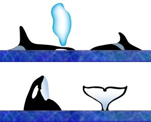 orca (killer whale)surface characteristics