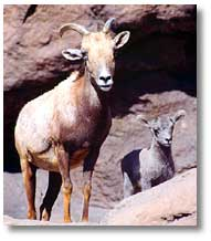 big horn sheep ewe and lamb