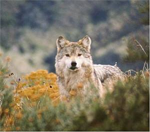 Canis lupus baileyi - Mexican Gray Wolf - most endangered gray wolf