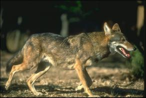 Canis rufus rufus - Red Wolf - the most endangered wolf in the world