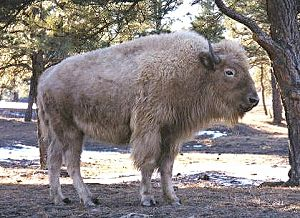 picture of white buffalo