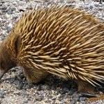 Echidnas are one of only two mammals in the Monotreme animal classification.
