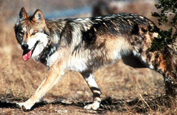 yellowstone gray wolf, endangered species