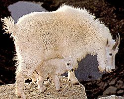 mountain goat ewe and lamb