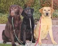Labrador Retriever breed colors