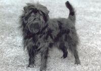 picture of Affenpinscher