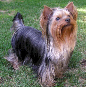 Picture of Yorkshire terrier dog